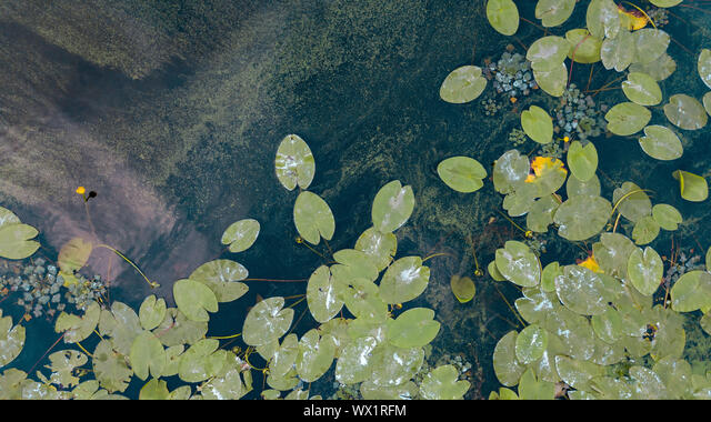 Beautiful white and yellow waterlily or lotus flower in pond. Aerial view from the drone ALMWX1RFM| 写真素材・ストックフォト・画像・イラスト素材|アマナイメージズ