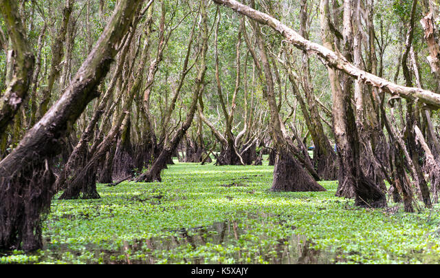 Melaleuca forest in sunny morning with a path melaleuca trees along canal covered with flowers to create rich vegetation of the mangroves. This is gre ALMK5XAJY| 写真素材・ストックフォト・画像・イラスト素材|アマナイメージズ