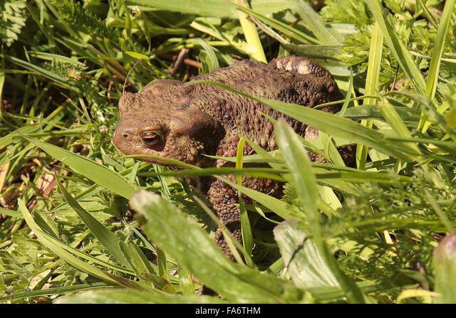 Common Toad (Bufo bufo) ALMFA6THM| 写真素材・ストックフォト・画像・イラスト素材|アマナイメージズ