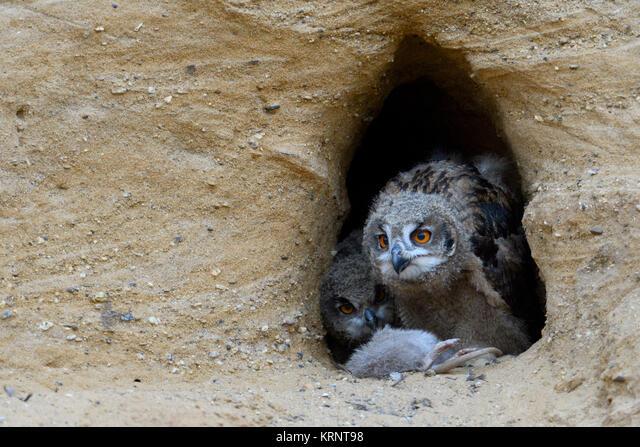 Eurasian Eagle Owls / Europaeische Uhus ( Bubo bubo ), chicks , feeding on prey ( nutria ), wildlife, Europe. ALMKRNT98| 写真素材・ストックフォト・画像・イラスト素材|アマナイメージズ