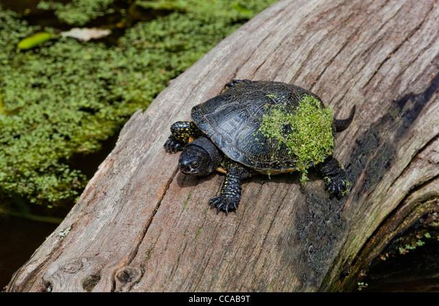 European Pond Tortoise (Emys orbicularis). Sun basking, with                       Duckweed (Lemna sp. ).on carapace. ALMCCAB9T| 写真素材・ストックフォト・画像・イラスト素材|アマナイメージズ