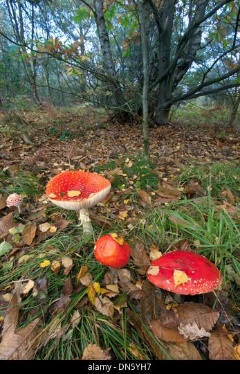 Fly Agaric Amanita muscaria on Kelling Heath Norfolk ALMDN5YH7| 写真素材・ストックフォト・画像・イラスト素材|アマナイメージズ