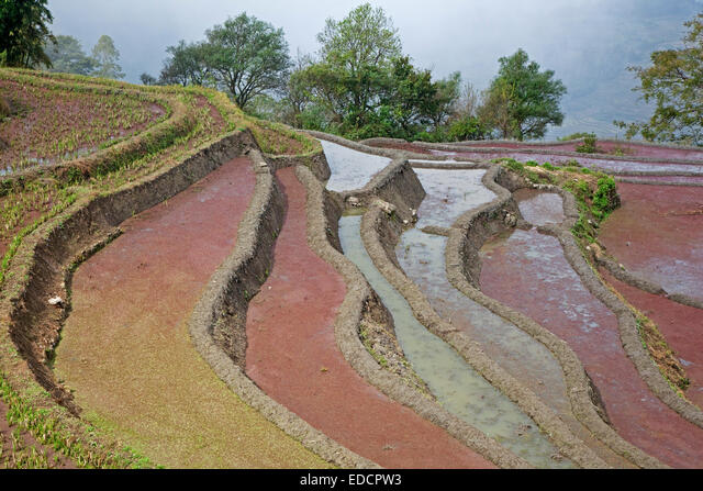 Terraced rice paddies covered in red duckweed on hillside near Xinjie in the Yuangyang district, Yunnan province, China ALMEDCPW3| 写真素材・ストックフォト・画像・イラスト素材|アマナイメージズ