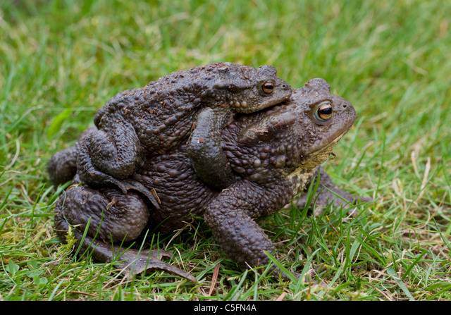 Common Toad / European Toad (Bufo bufo) pair migrating in amplexus to breeding pond in spring, Germany ALMC5FN4A| 写真素材・ストックフォト・画像・イラスト素材|アマナイメージズ