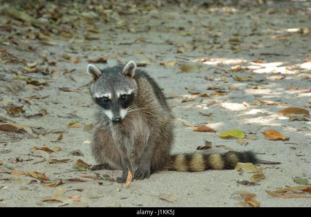 A Raccoon in Manuel Antonio National Park beach Costa Rica ALMJ1KK5J| 写真素材・ストックフォト・画像・イラスト素材|アマナイメージズ