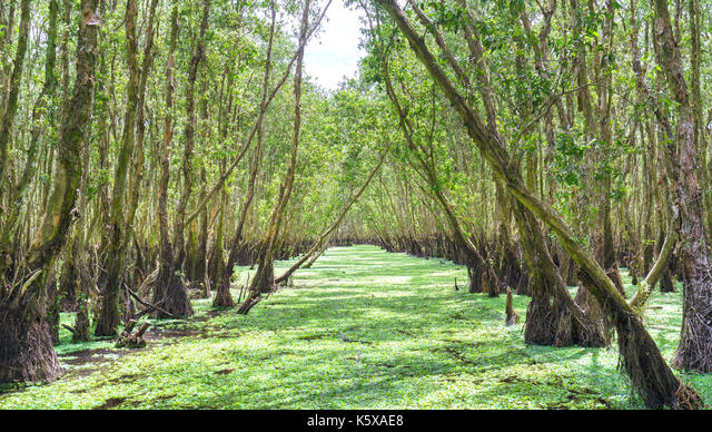 Melaleuca forest in sunny morning with a path melaleuca trees along canal covered with flowers to create rich vegetation of the mangroves. This is gre ALMK5XAE8| 写真素材・ストックフォト・画像・イラスト素材|アマナイメージズ