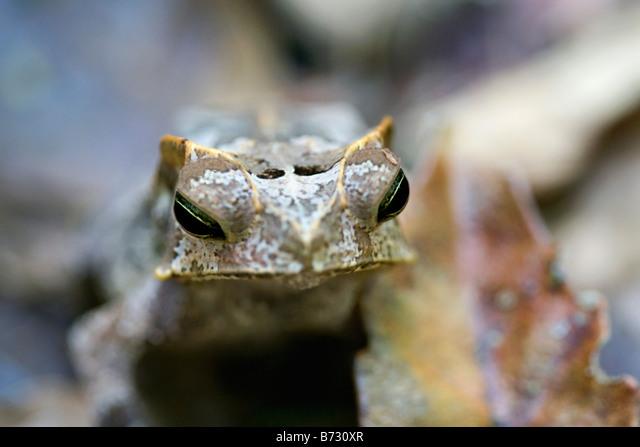 Suriname, Brownsweg, Brownsberg National Park. Horned toad. ALMB730XR| 写真素材・ストックフォト・画像・イラスト素材|アマナイメージズ