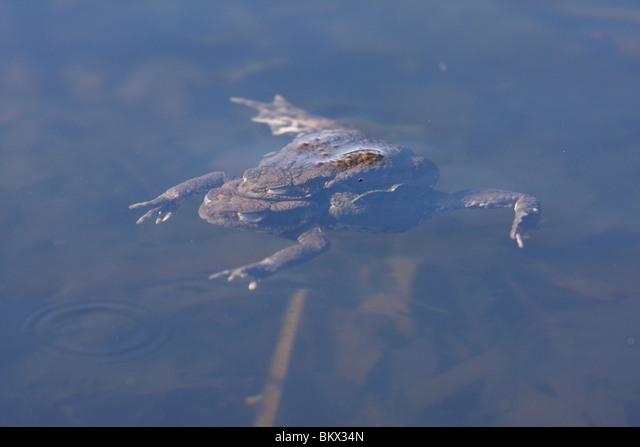 common toad ALMBKX34N| 写真素材・ストックフォト・画像・イラスト素材|アマナイメージズ