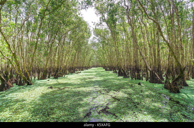 Melaleuca forest in sunny morning with a path melaleuca trees along canal covered with flowers to create rich vegetation of the mangroves. This is gre ALMK5XAFG| 写真素材・ストックフォト・画像・イラスト素材|アマナイメージズ