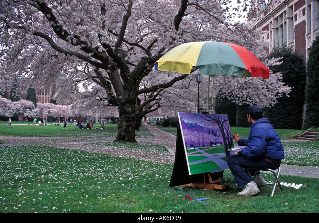 Artist Creates Spring Scenic Under Canopy Of Blossoming Cherry Trees On University Of Washington Campus Seattle Washington ALMAK6D99| 写真素材・ストックフォト・画像・イラスト素材|アマナイメージズ