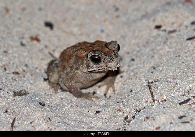 The image of common toad ( Bufo Bufo ) in Karavatti island, Lakshadweep, India ALMF338FH| 写真素材・ストックフォト・画像・イラスト素材|アマナイメージズ
