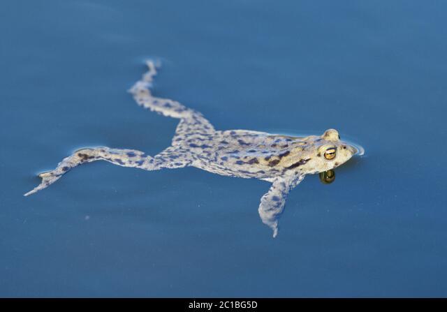 Common toad (Bufo bufo) swin in a pond level ALM2C1BG5D| 写真素材・ストックフォト・画像・イラスト素材|アマナイメージズ