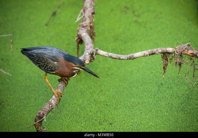 Green Heron (Butorides virescens) adult  searching for food in a pond covered in duckweed, St Augustine, Florida ALMM3WB50| 写真素材・ストックフォト・画像・イラスト素材|アマナイメージズ