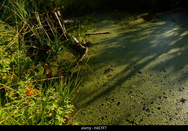 The surface of the water in the beaver dam forest river covered with duckweed ALMH4CFF7| 写真素材・ストックフォト・画像・イラスト素材|アマナイメージズ