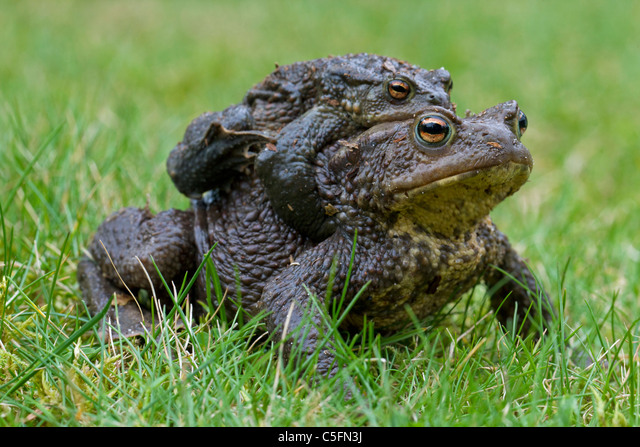 Common Toad / European Toad (Bufo bufo) pair migrating in amplexus to breeding pond in spring, Germany ALMC5FN3J| 写真素材・ストックフォト・画像・イラスト素材|アマナイメージズ