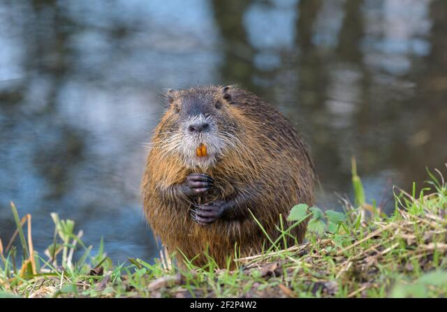 Nutria on the bank of a pond, January, Hesse, Germany ALM2F2P4W2| 写真素材・ストックフォト・画像・イラスト素材|アマナイメージズ