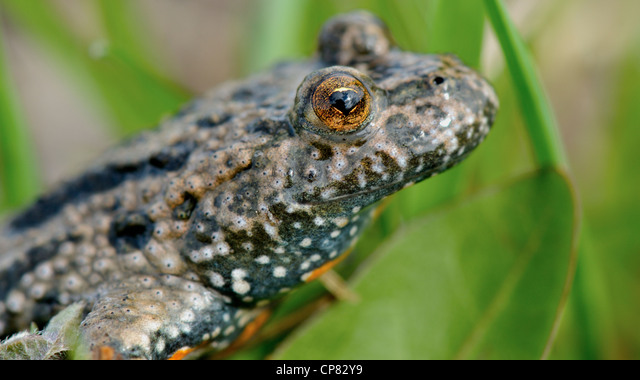 The Fire-bellied Toad - Bombina in the natural environment. ALMCP82Y9| 写真素材・ストックフォト・画像・イラスト素材|アマナイメージズ