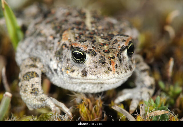 Natterjack Toad - Epidalea calamita ALMHG30DC| 写真素材・ストックフォト・画像・イラスト素材|アマナイメージズ