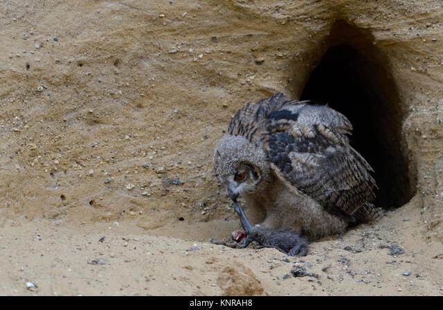 Eurasian Eagle Owl / Europaeischer Uhu ( Bubo bubo ), young chick at nesting site, feeding on prey ( nutria ), wildlife, Europe. ALMKNRAH8| 写真素材・ストックフォト・画像・イラスト素材|アマナイメージズ