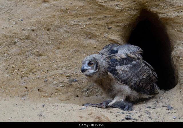 Eurasian Eagle Owl / Europaeischer Uhu ( Bubo bubo ), young chick at nesting site, feeding on prey ( nutria ), wildlife, Europe. ALMKH505G| 写真素材・ストックフォト・画像・イラスト素材|アマナイメージズ