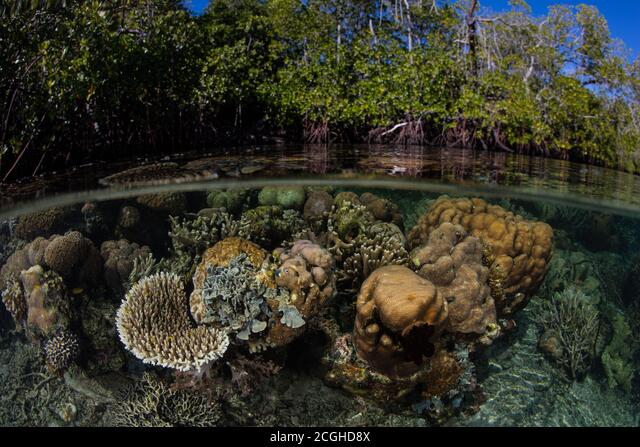 Corals thrive at the edge of mangrove forest in Raja Ampat, Indonesia. This remote tropical area is known for its spectacular marine biodiversity. ALM2CGHD8X| 写真素材・ストックフォト・画像・イラスト素材|アマナイメージズ
