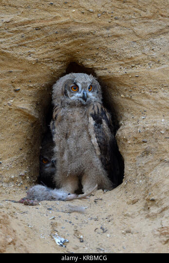 Eurasian Eagle Owl / Europaeischer Uhus ( Bubo bubo ), young chick at nesting site, standing next to its food ( nutria ), wildlife, Europe. ALMKRBMCG| 写真素材・ストックフォト・画像・イラスト素材|アマナイメージズ