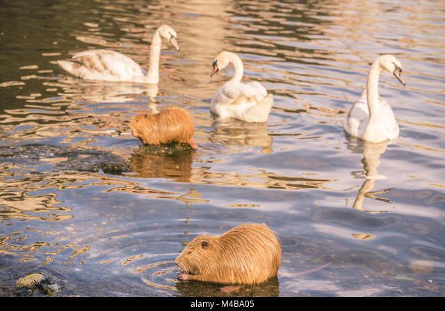 Birds and animals on  Vltava river in Prague ALMM4BA05| 写真素材・ストックフォト・画像・イラスト素材|アマナイメージズ