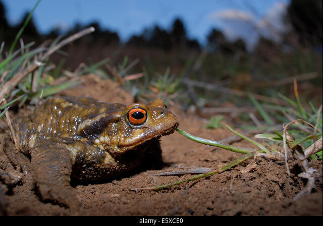 Common toad (Bufo spinosus) in Mariola mountains, between Alicante and Valencia province, Spain ALME5XCE0| 写真素材・ストックフォト・画像・イラスト素材|アマナイメージズ