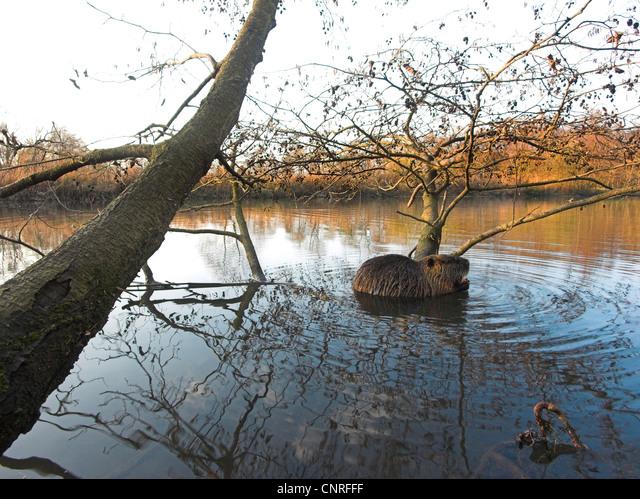 coypu, nutria (Myocastor coypus), in habitat, Germany, North Rhine-Westphalia ALMCNRFFF| 写真素材・ストックフォト・画像・イラスト素材|アマナイメージズ