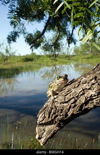 Couch's Spadefoot Toad - Los Novios Ranch - near Cotulla, Texas USA ALMBMGH14| 写真素材・ストックフォト・画像・イラスト素材|アマナイメージズ