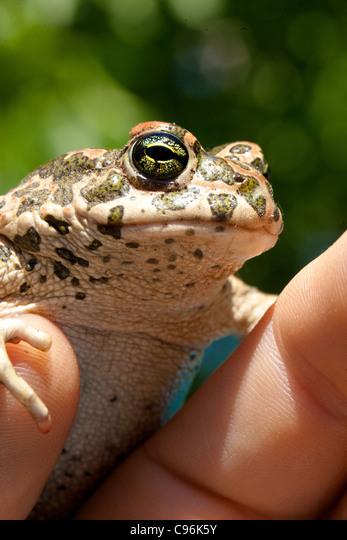 Macro toad shot ALMC96K5Y| 写真素材・ストックフォト・画像・イラスト素材|アマナイメージズ