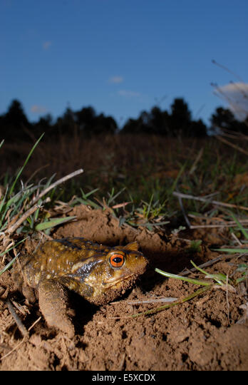 Common toad (Bufo spinosus) in Mariola mountains, between Alicante and Valencia province, Spain ALME5XCDX| 写真素材・ストックフォト・画像・イラスト素材|アマナイメージズ