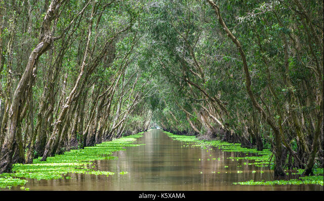 Melaleuca forest in sunny morning with a path melaleuca trees along canal covered with flowers to create rich vegetation of the mangroves. This is gre ALMK5XAMA| 写真素材・ストックフォト・画像・イラスト素材|アマナイメージズ